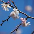 Photos: 十月桜