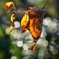 Photos: 枯れ葉