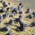 Photos: 日向ぼっこ鳩