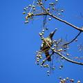 センダンの食べるヒヨドリ