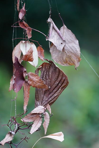 蜘蛛の巣の枯れ葉