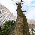 Photos: 冬のカナリアポプラ