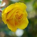 Photos: 黄色い薔薇