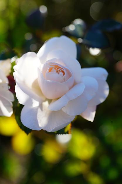 写真: 白い薔薇