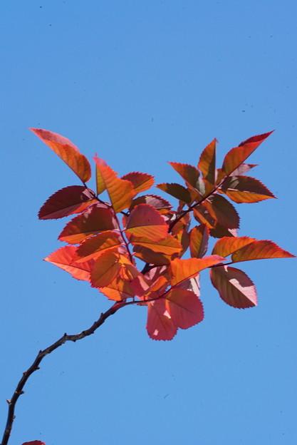 薔薇の葉の紅葉