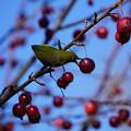 Photos: 姫リンゴと目白