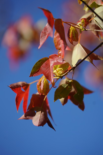 トウカエデの葉