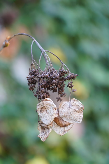 イワガラミの種