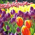 Photos: チューリップの花々
