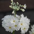 Photos: 白い桜草
