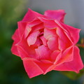 ????: 赤い薔薇