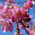 Photos: 桜