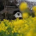 古民家と菜の花