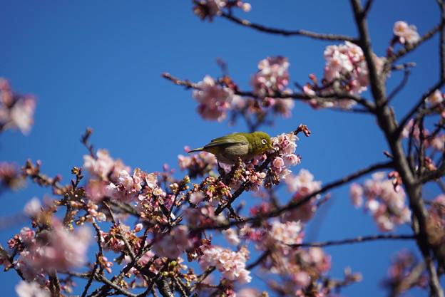 河津桜に目白