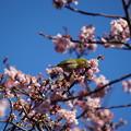 写真: 河津桜に目白