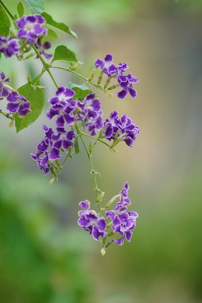ヂュランタの花