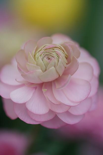 薄ピンクのラナンキュラス