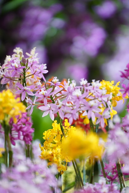 ランの花々