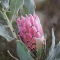 Photos: 南アフリカの花