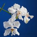 Photos: 白い蘭