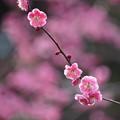 Photos: 八重唐梅