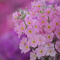 ピンクのマラコイデス