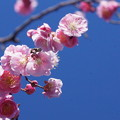 Photos: 青空に梅