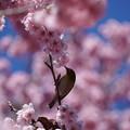 写真: メジロと桜