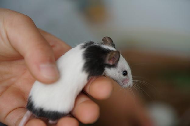 パンダマウス