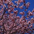 Photos: 椿寒桜