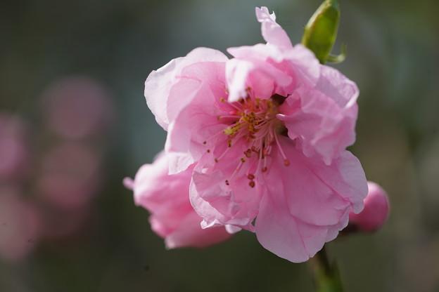 Photos: 花桃の花