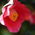 Photos: 赤い椿