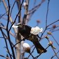 木蓮とヒヨドリ