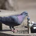 水飲み場の鳩