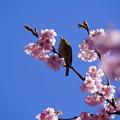 寒桜と目白