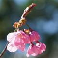 写真: 湘南緋桜