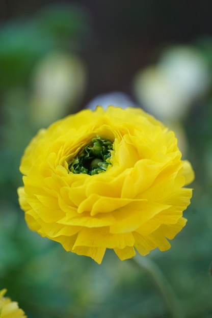 Photos: 黄色いラナンキュラス