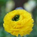黄色いラナンキュラス