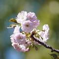 Photos: 関山桜