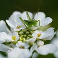 Photos: 緑の昆虫