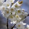 Photos: 大島桜