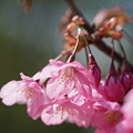 Photos: 湘南緋桜