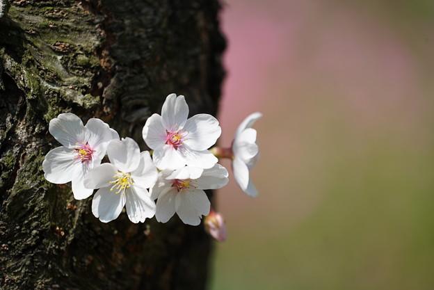 Photos: 銅咲き桜