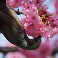 Photos: 桜とヒヨドリ