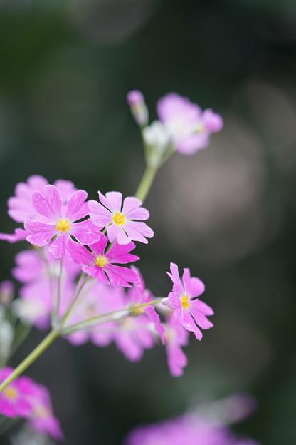 Photos: 桜草