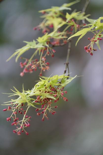 Photos: モミジの花