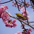 Photos: 桜と目白