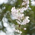 Photos: 染井吉野