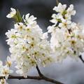 Photos: スモモの花