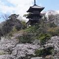 Photos: 桜と三重塔